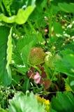 Unausgereifte grüne Früchte von Gartenerdbeeren stockbild
