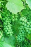 Unausgereifte grüne Trauben. Stockbild