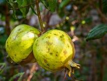 Unausgereifte Granatapfel-Frucht auf Baumast Stockfotos