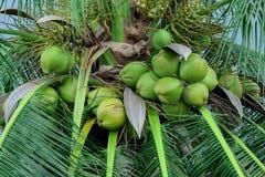 Unausgereifte Kokosnuss auf einer Palme Stockfotografie