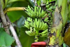 Unausgereifte pralle Bananen auf der Unterwasserbanane Stockbilder