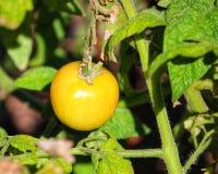 Unausgereifte Tomate lizenzfreie stockfotografie