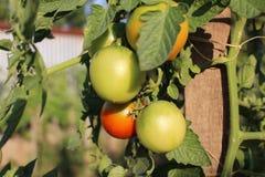 Unausgereifte Tomaten Lizenzfreie Stockfotos