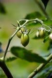 Unausgereifte Tomaten, die von Bush hängen Lizenzfreies Stockfoto