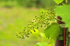 Unausgereifte Trauben auf der Rebe Junge Niederlassung von Trauben auf der Natur Wachsende Trauben im Weinberg Wachsender Weinver stockfoto