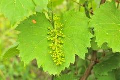 Unausgereifte Trauben auf der Rebe Junge Niederlassung von Trauben auf der Natur Wachsende Trauben im Weinberg Wachsender Weinver lizenzfreie stockbilder