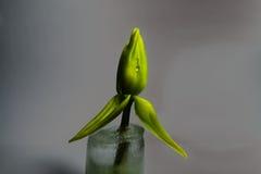 Unausgereifte Tulpe im Eis Stockbilder