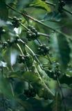 Unausgereifter Kaffee auf Baumzweig Stockfotos