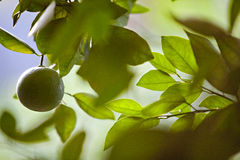 Unausgereiftes orange Hängen von einem Zitrusfrucht-Baum Lizenzfreie Stockfotos