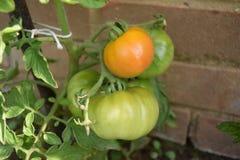 Unausgereiftes Tomatenwachsen Lizenzfreie Stockfotos
