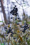 Unavailable black berries on the branches after the rain. Berries for birds royalty free stock photos