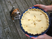 Unbaked pie and beagle Stock Images