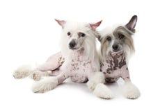 Unbehaarte Chinese Crested-Hunde Stockbild