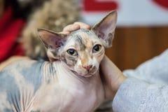 Unbehaarte Katzen, Katze züchtet, unbehaart, Sphinx, lizenzfreie stockfotos