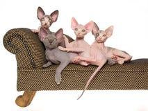 Unbehaarte Sphynx Kätzchen auf mini brauner Couch Lizenzfreies Stockbild