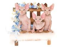 Unbehaarte Sphynx Kätzchen auf Minibank Stockfotografie