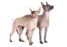 Unbehaarte xoloitzcuintle Hunde lokalisiert auf Weiß Stockfotos