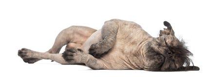 Unbehaarter Misch-Zucht Hund, Mischung zwischen einer französischen Bulldogge und einem chinesischen Hund mit Haube, liegend auf d Stockfotografie