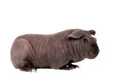 Unbehaartes Meerschweinchen lokalisiert auf Weiß Lizenzfreies Stockfoto