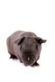 Unbehaartes Meerschweinchen lokalisiert auf Weiß Stockfoto