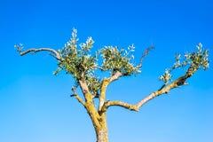 Unbeholfener Olivenbaum gegen den blauen Himmel Stockbild