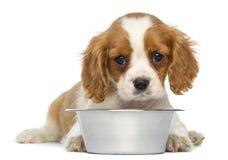 Unbekümmerter König Charles Puppy, der vor einer leeren metallischen Hundeschüssel liegt Lizenzfreies Stockbild