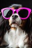 Unbekümmerter König Charles Spaniel in der rosa Sonnenbrille Lizenzfreies Stockfoto