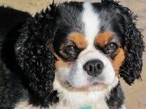 Unbekümmerter König Charles Spaniel Dog Breed Stockbild