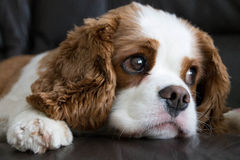 Unbekümmerter König Charles Spaniel Dog Breed Lizenzfreies Stockfoto