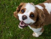 Unbekümmerter König Charles Spaniel Dog Breed Stockfotografie