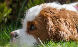 Unbekümmerter König Charles Spaniel Dog Breed Stockfoto