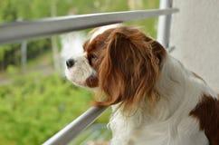 Unbekümmerter König Charles Spaniel Watching Stockbild
