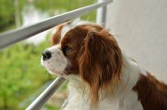 Unbekümmerter König Charles Spaniel Watching Stockfotos