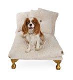 Unbekümmerter Königcharles Spaniel-Hund auf Luxuxbett lizenzfreie stockfotos