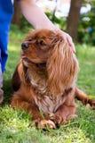 Unbekümmerter Königcharles Spanielhund Lizenzfreies Stockbild