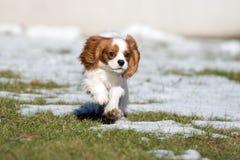 Unbekümmerter Spanielhund Königs Charles, der draußen läuft Lizenzfreies Stockfoto
