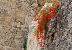 Unbekannte rote Blumen auf einer alten Steinwand Stockfotos