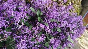 Unbekannte Spezies von purpurroten Blumen stockbilder