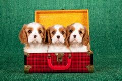 Unbekümmerte Welpen Königs Charles Spaniel, die innerhalb des roten Schottenstoffplaid-Koffergepäcks sitzen Stockfoto