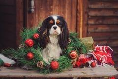 Unbekümmerter Spanielhund Königs Charles mit Weihnachtsdekorationen am gemütlichen hölzernen Landhaus Lizenzfreies Stockfoto