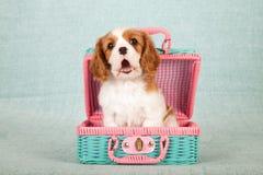 Unbekümmerter Welpe Königs Charles Spaniel, der innerhalb des rosa und grünen gesponnenen Picknickkorbes sitzt Lizenzfreies Stockbild