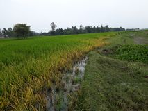 Unbelievable gorgeous Paddy field royalty free stock image