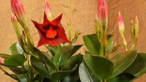 Unblooming ha colorato i germogli di fiore Chiuda su, macro archivi video