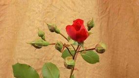 Unblooming ha colorato i germogli di fiore Chiuda su, macro video d archivio