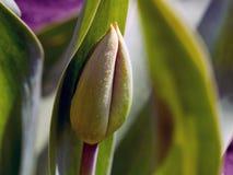 Unblown最大的郁金香芽在春天 库存照片