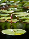 Unblown лилии воды цветка в пруде стоковые фотографии rf