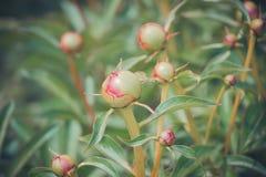 Unblown молодой бутон в саде, фото пиона запаса Стоковое Изображение