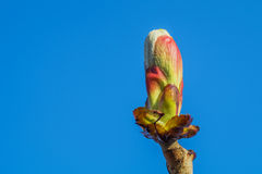 Unblown bud on a branch close up Royalty Free Stock Images