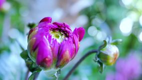 Unblown flower dahlia garden. Changing the focal length. stock footage