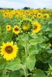 Unblown knopp av solrosframdelen av det gröna fältet med blommor av su Royaltyfria Bilder